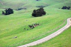 Cobrir a estrada e as vacas na área rural da terra Fotografia de Stock Royalty Free