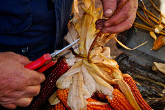 Cobs of corn. Red and yellow during the craftsmanship Stock Photo