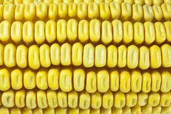 Cobs and corn. Beans and corn cobs in a row Stock Photography