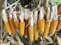 Cobs of corn drying in the open air. Connected with each other glumes. Hang on a tight rope. Crops harvested from the infield. Yellow tasty grain royalty free stock images
