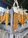 Cobs of corn drying in the open air. Connected with each other glumes. Hang on a wooden box and a tight rope. Crops harvested from. The infield. Yellow tasty stock image