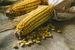 Cobs of corn on a sackcloth. Close-up of cobs of corn with seeds lying on a sackcloth Stock Photography