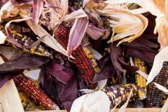 Cobs of Corn Royalty Free Stock Image