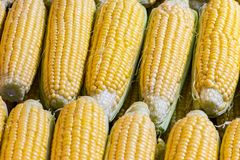 Cobs of corns in the raw. Closeup shoot of the cobs of corns in the raws at market place Stock Image