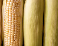 Cobs of Fresh Orgnic Corn Royalty Free Stock Photography