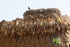 Corn in village in Burkina Faso. Cobs hung out to dry in village in Burkina Faso stock photography