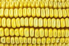 Cobs i kukurudza Fotografia Stock