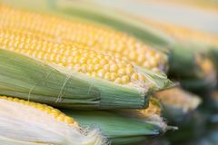 Cobs with ripe yellow corn Royalty Free Stock Photo