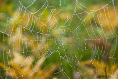 Cobweb. Spider's web with drops of water Royalty Free Stock Images