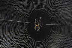 Cobweb. Cross spider in the nature area de Veluwe in Netherlands Stock Photo