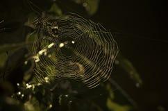Cobweb Royaltyfria Bilder