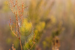 Cobweb. All in dew on a beautiful morning in the meadow Stock Images