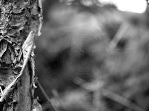Cobweb. Black and white Picture of cobweb in a tree Royalty Free Stock Images