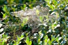 Cobweb on boxtree Royalty Free Stock Photography