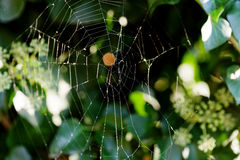 Cobweb on boxwood bush Royalty Free Stock Photos