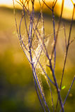 Cobweb at Daybreak Royalty Free Stock Image