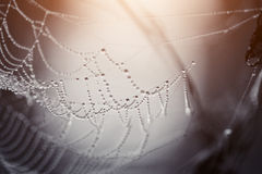 Cobweb in dew drops Royalty Free Stock Photo