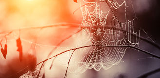 Cobweb in dew drops Stock Photo