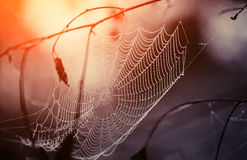 Cobweb in dew drops Stock Image