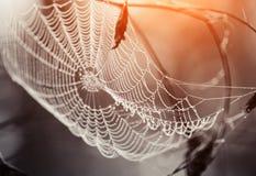 Cobweb in dew drops Stock Photography