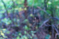The Cobweb of the forest spider. Stock Photos