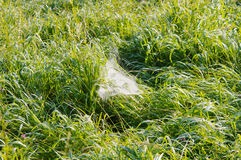 Cobweb in a grass Royalty Free Stock Image