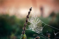 Free Cobweb In Frost At Morning. Ice On The Spider S Web Stock Photos - 78683633