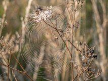Cobweb on riverbank Close Up. Image of a cobweb stretched accros brown faded cow parsley Stock Image