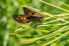 Cobweb Skipper Butterfly resting atop blades of grasses. Great close up of the skipper butterfly taking a rest in his busy day Stock Photo
