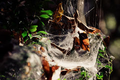 Cobweb on tree Royalty Free Stock Image