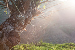 Cobweb on The Tree. Spider web on the tree in forest with beautiful sunshine Stock Image