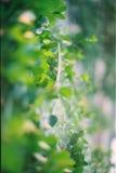 Cobweb verde fotografia stock libera da diritti