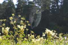 Cobweb in the woods. Royalty Free Stock Photo