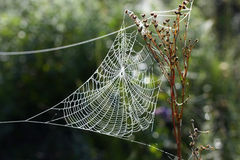 Cobweb in the woods. Stock Image