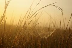 Cobwebs at dawn. In a field royalty free stock photo