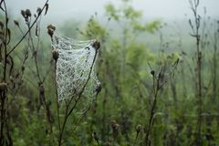 Cobwebs with dew drops on the grass.  Royalty Free Stock Photo