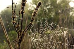 Cobwebs with dew drops on the grass.  Royalty Free Stock Image