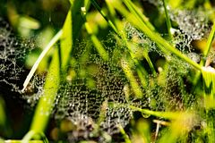 Cobwebs With Drops Water In Grass. Beautiful Cobwebs With Drops Water From Morning Dew In Green Grass Outdoor. Close Up Royalty Free Stock Images