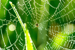 Cobwebs on the grass with dew drops. Selective focus, copy space Royalty Free Stock Images