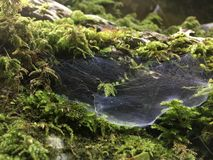 Cobwebs in the moss, rain forest, spider job stock photography
