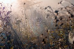 Free Cobwebs On Dry Grass At Foggy Autumn Morning Royalty Free Stock Photography - 120798557