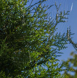 Cobwebs shine in the summer sun. Against a background of green cypress Stock Photos