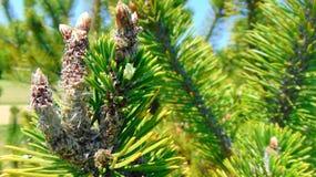 Cobwebs on Spruce Royalty Free Stock Photos