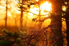 Cobwebs at sunset in a pine forest.  Royalty Free Stock Photography