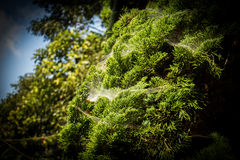 Cobwebs Royalty Free Stock Photography