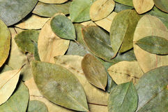 Coca. Close up of coca leaves Royalty Free Stock Photo