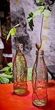 Coca cola bottles for cuttings. Classical coca cola bottle is well suited to make cutting grow roots stock images