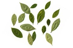 COCA LEAFS. The famous coca leaf from the valleys of Bolivia. It�s a sacred plant for the ancient andean people and used for medicine even today and read the Royalty Free Stock Photos