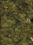 Coca Leafs. Coca leaf. Sacred ancient medicine of Bolivia stock image