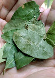 Coca leaves Stock Photos